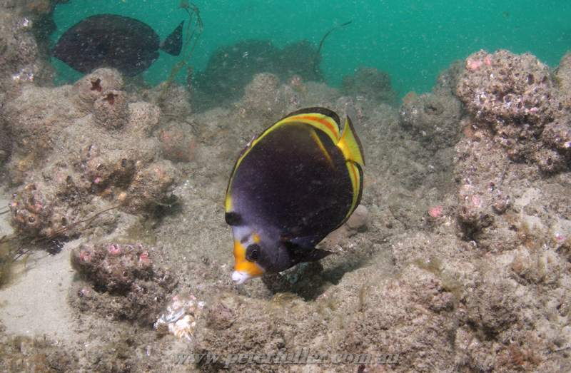 Dive 78 gold coast seaway short pipe peter fullers for Golden fish pipe
