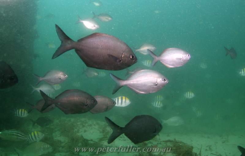 Gold coast seaway peter fullers dive blog for Golden fish pipe