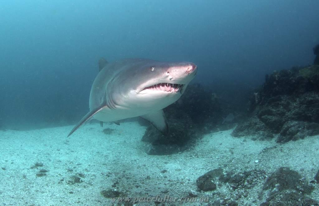 Dive 81 byron bay julians rocks cod hole peter - Dive byron bay ...