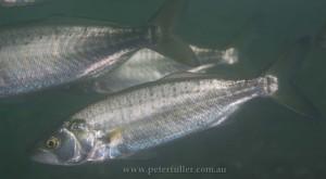salmon4558