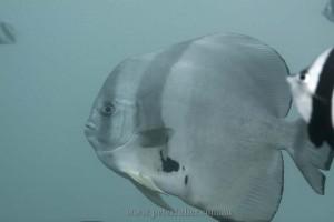 seaventuresOilRig-batfish4970
