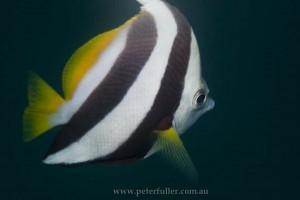 seaventuresOilRig-fish4966