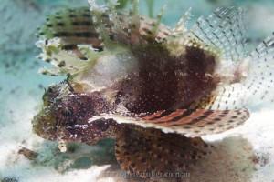 lionfish5033d